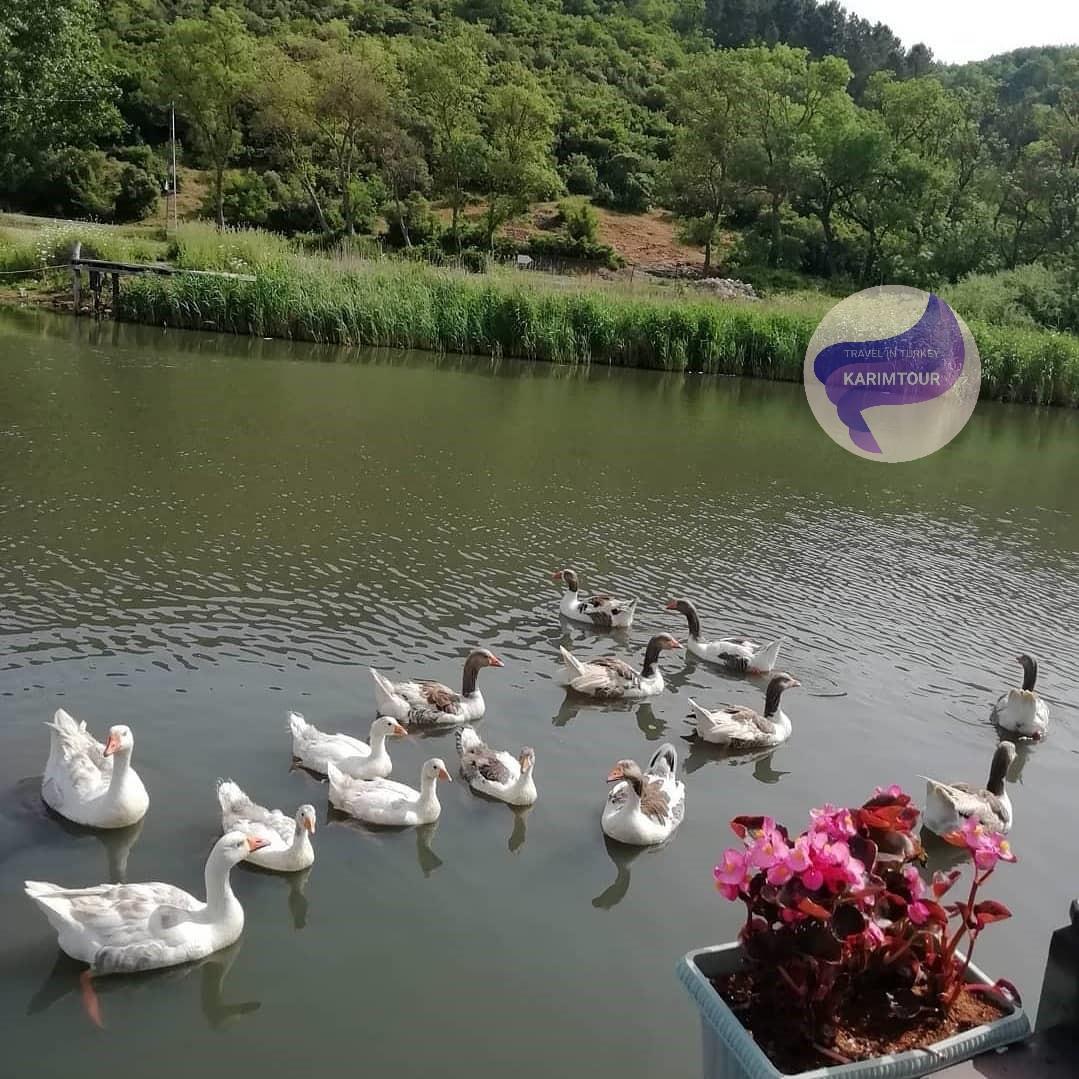 البط في بحيرة سبانجا