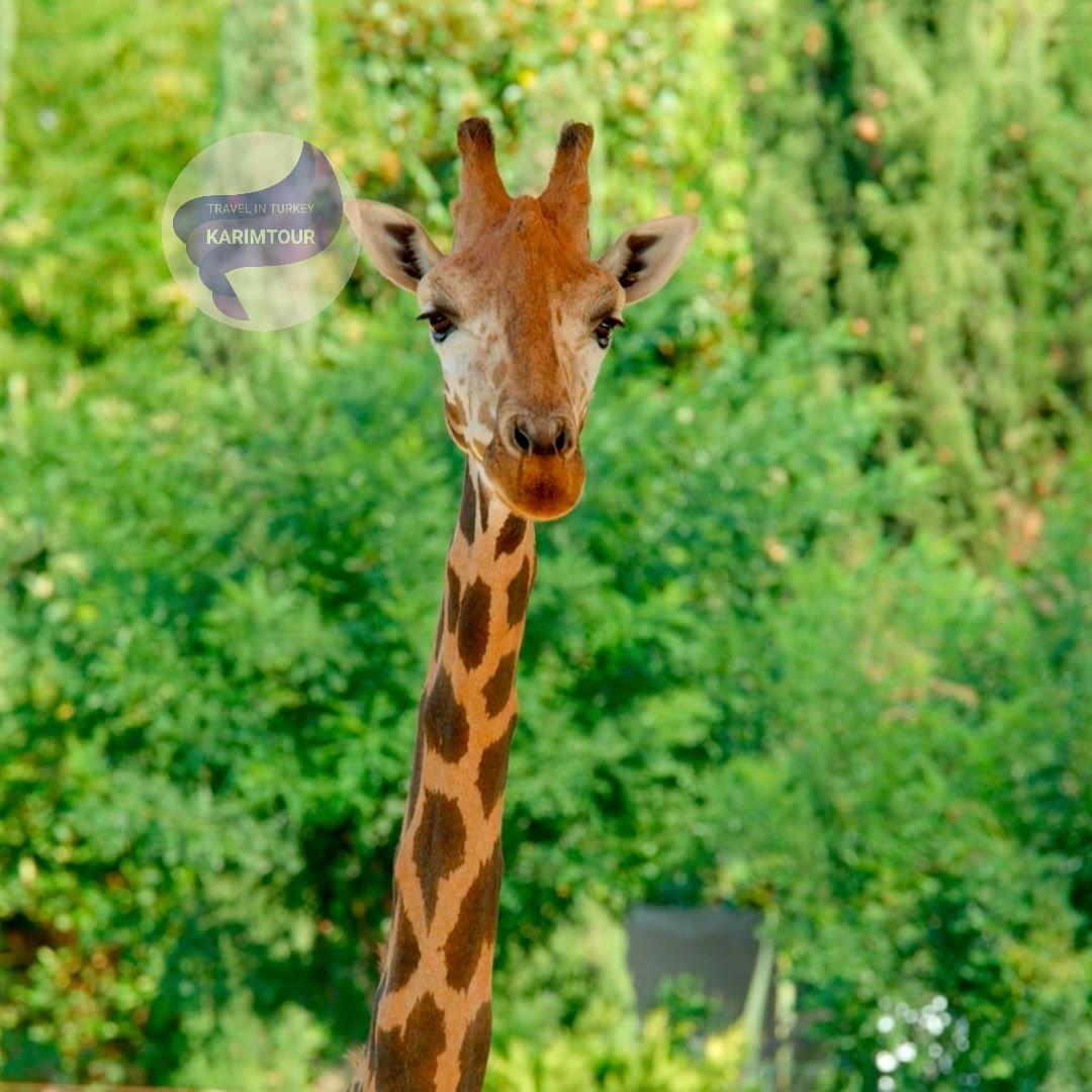 زرافة في حديقة الحيوان داريجا